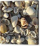 Sanibel Island Shells 3 Acrylic Print