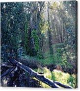 Santa Barbara Eucalyptus Forest II Acrylic Print