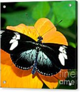 Sara Longwing Butterfly Acrylic Print