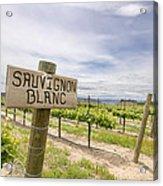 Sauvignon Blanc Grapes Growing In Vineyard Acrylic Print