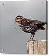 Savanah Sparrow Acrylic Print