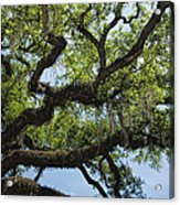 Savannah Live Oak And Spanish Moss Acrylic Print