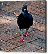 Savannah Pigeon Acrylic Print