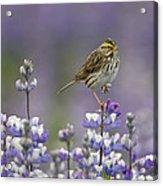 Savannah Sparrow And Nootka Lupine Acrylic Print