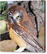Saw-whet Owl In Conifers Acrylic Print