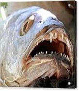 Fanged Fish Say Ahhhhhh Acrylic Print