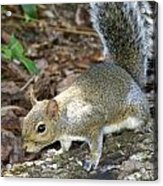 Scampering Squirrel Acrylic Print