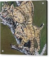 Scaredy Bobcats Acrylic Print