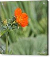 Scarlet Avens Orange Wild Flower Acrylic Print
