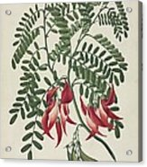 Scarlet Clianthus (clianthus Puniceus) Acrylic Print by Science Photo Library