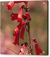 Scarlet Colorado Penstemons Acrylic Print