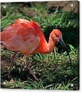 Scarlet Ibis Hybrid Acrylic Print