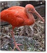 Scarlet Ibis One Legged Pose Acrylic Print