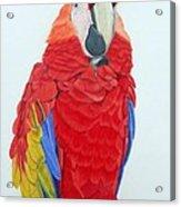 Scarlet Macaw Acrylic Print