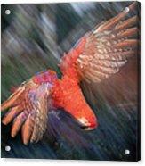 Scarlet Macaw Flying Amazon Basin Peru Acrylic Print