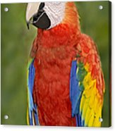 Scarlet Macaw Parrot Acrylic Print