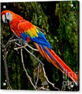 Scarlet Macaw Perched Acrylic Print