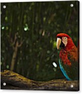 Scarlet Macaw Profile Acrylic Print