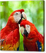 Scarlet Macaws Acrylic Print