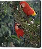 Scarlet Macaws In Rainforest Canopy Acrylic Print