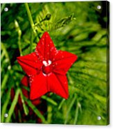 Scarlet Morning Glory - Horizontal Acrylic Print