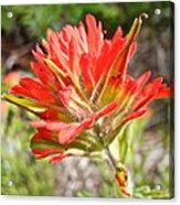 Scarlet Paintbrush Along John's Lake Trail In Glacier Np-mt Acrylic Print