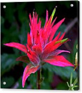 Scarlet Paintbrush On Swiftcurrent Pass Trail In Glacier National Park-montana Acrylic Print