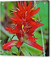 Scarlet Paintbrush On Trail To Swan Lake In Grand Teton National Park-wyoming- Acrylic Print