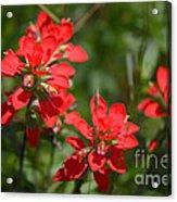 Scarlet Paintbrush. Texas Wildflowers. Castilleja_indivisa Acrylic Print