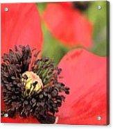 Scarlet Poppy Macro Acrylic Print