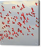 Scarlet Sky Acrylic Print