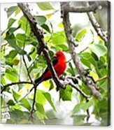 Scarlet Tanager - 11 Acrylic Print