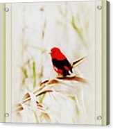 Scarlet Tanager 3630-12 Acrylic Print