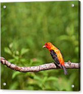 Scarlet Tanager On Snag Acrylic Print