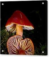 Scarlet Waxcap Acrylic Print