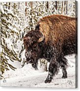 Scary Bison Acrylic Print