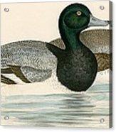 Scaup Duck Acrylic Print