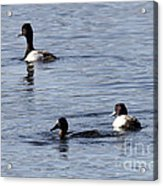 Scaup Ducks In The Spring Acrylic Print