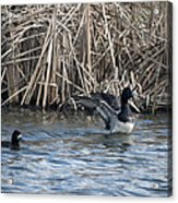 Scaup Show Off Acrylic Print