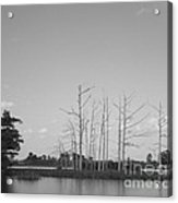 Scenic Swamp Cypress Trees Black And White Acrylic Print