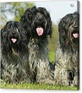 Schapendoes, Or Dutch Sheepdogs Acrylic Print