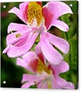 Schizanthus Named Angel Wings Acrylic Print