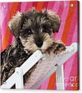 Schnauzer Puppy Looking Over Top Acrylic Print