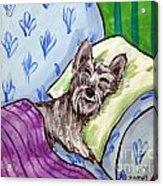 Schnauzer Sleeping Acrylic Print by Jay  Schmetz
