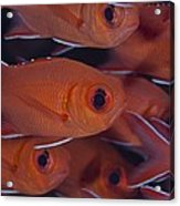 School Of Red Soldierfish Acrylic Print