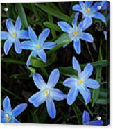 Scilla Flowers In The Morning Acrylic Print