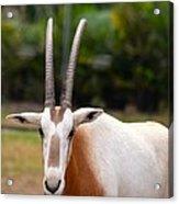 Scimitar Horned Oryx 2 Acrylic Print