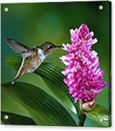 Scintillant Hummingbird Selasphorus Acrylic Print