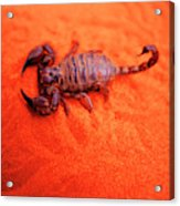 Scorpion Red Sand Sting Insect Acrylic Print