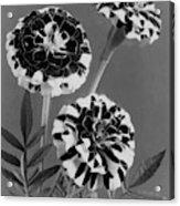 Scotch-stripe Marigolds Acrylic Print